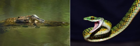 Spectacled Caiman and Black-skinned Parrot Snake